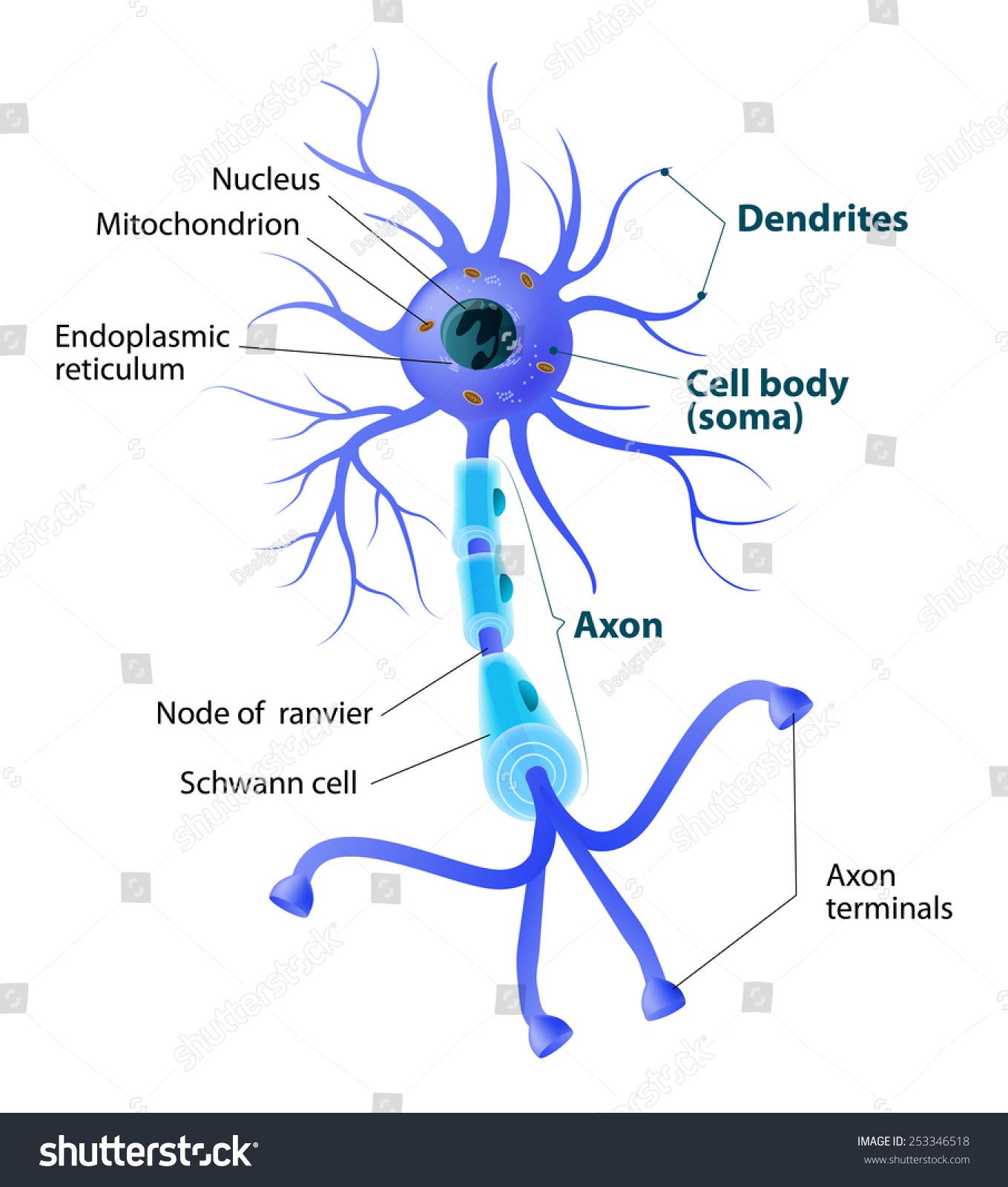 Anatomy Typical Human Neuron Structure Neuron Stockillustration ...