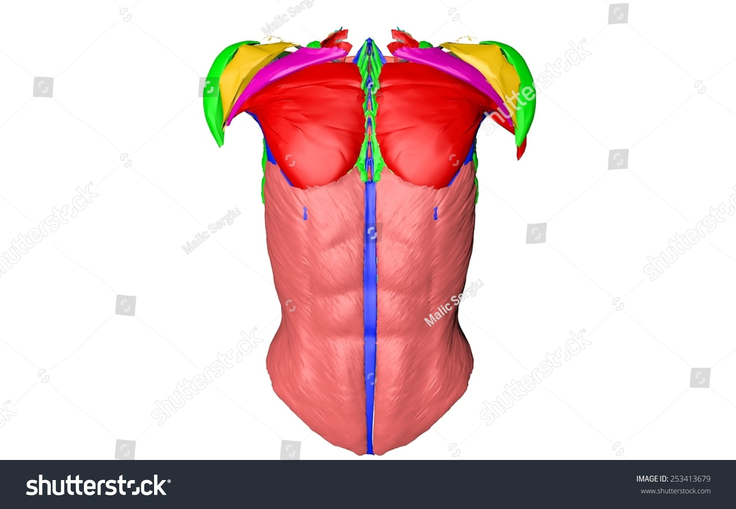 Body Muscles Chest Muscles Belly Muscles Stock Illustration