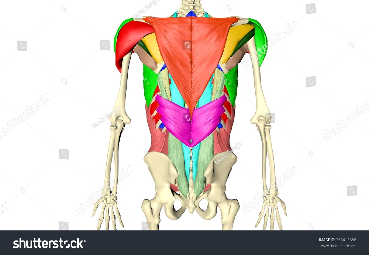 Body Muscles Body Skeleton Spinal Muscles Stock Illustration ...