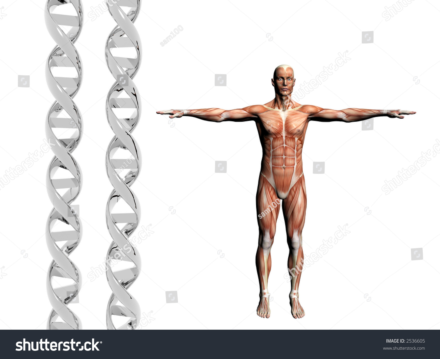 Two Dna Strands Muscular Anatomical Correct Stock Photo (Edit Now ...