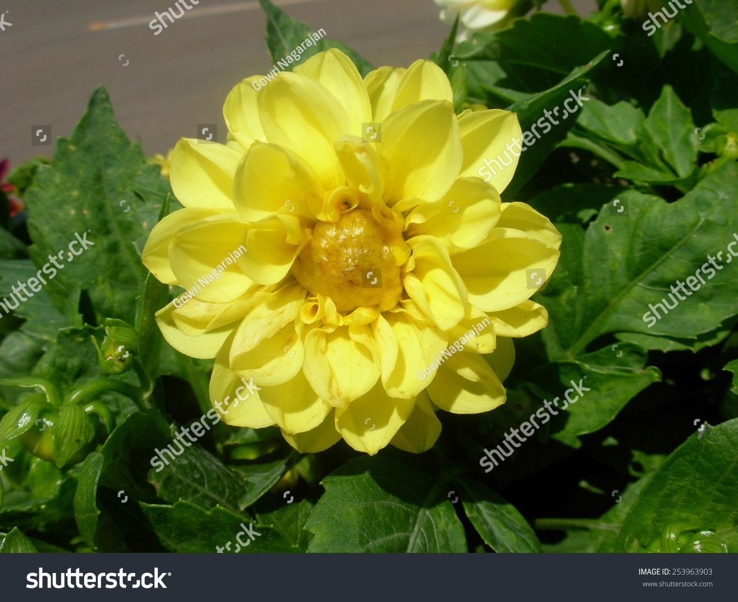 Yellow dahlia flower stock photo edit now 253963903 shutterstock yellow dahlia flower izmirmasajfo