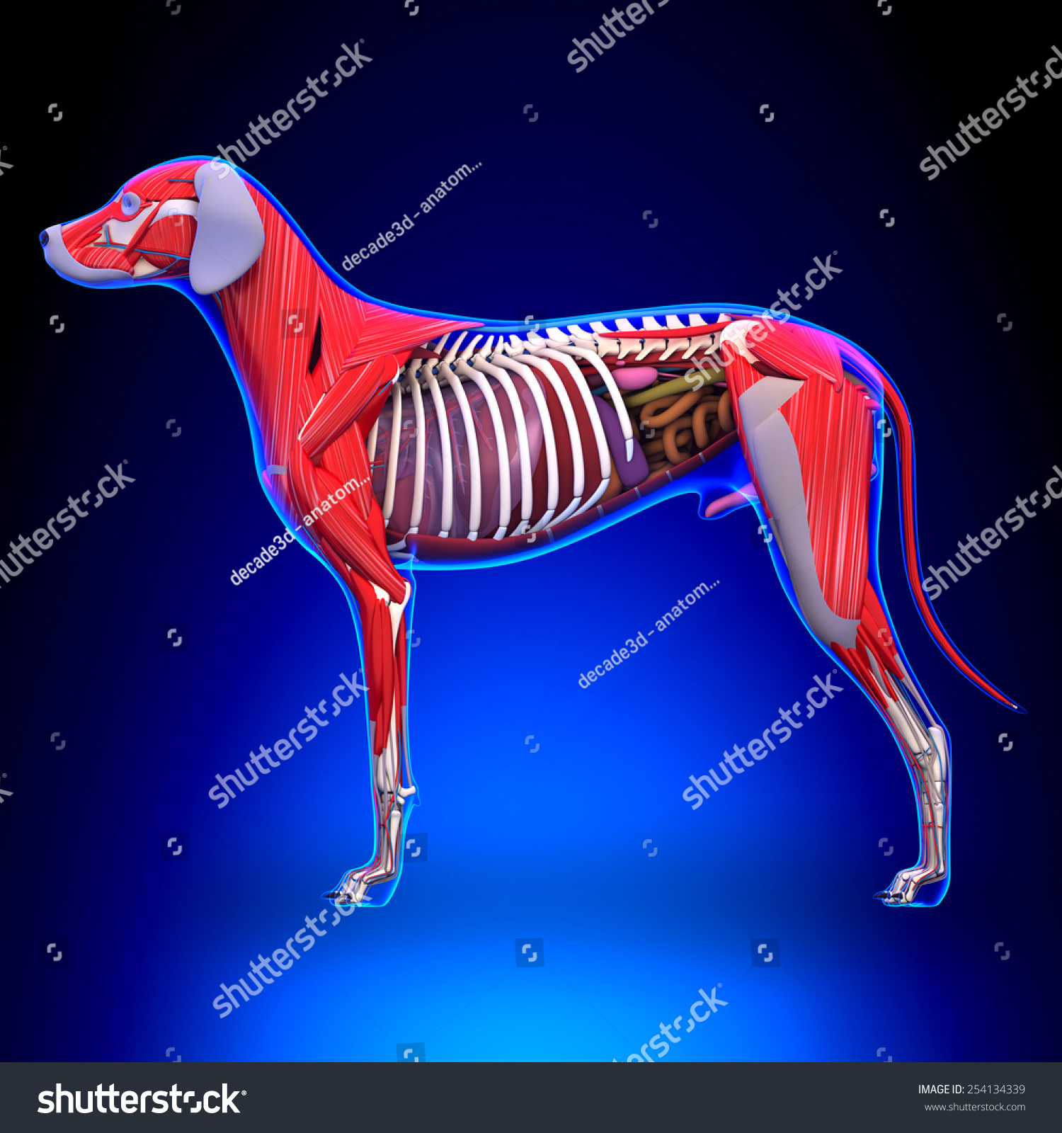 Dog Anatomy Male Organs Muscles Stock Illustration 254134339 ...