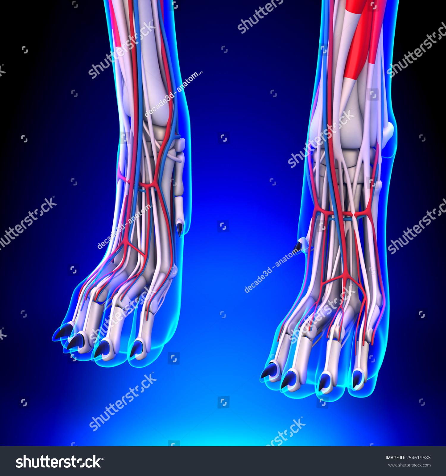 Dog Hind Legs Anatomy Circulatory System Stock Illustration ...