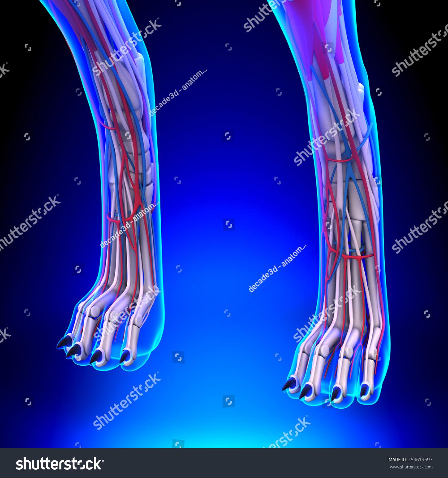 Dog Front Legs Anatomy Circulatory System Stock Illustration ...