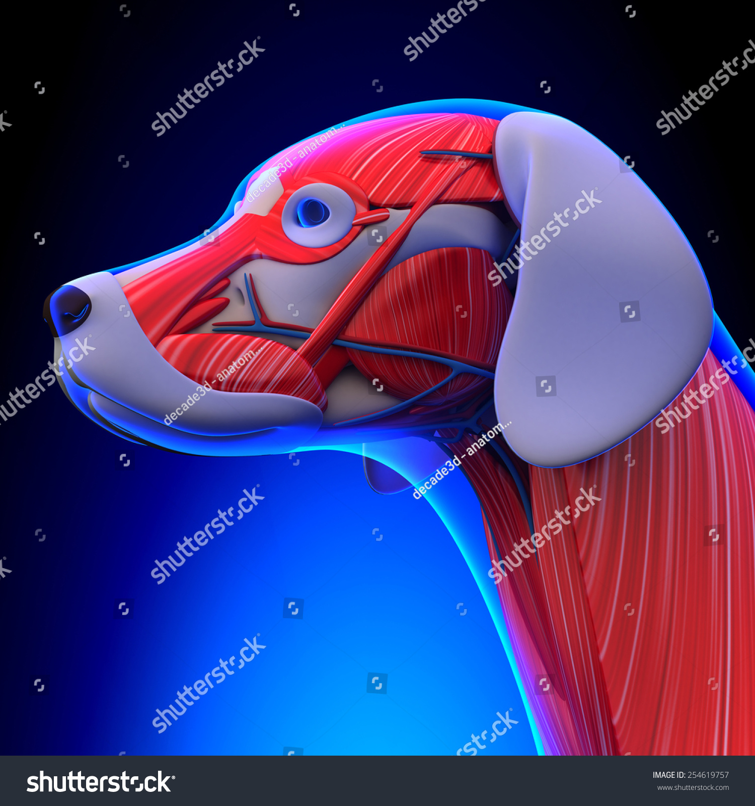 Dog Muscles Anatomy Head Stock Illustration 254619757 - Shutterstock