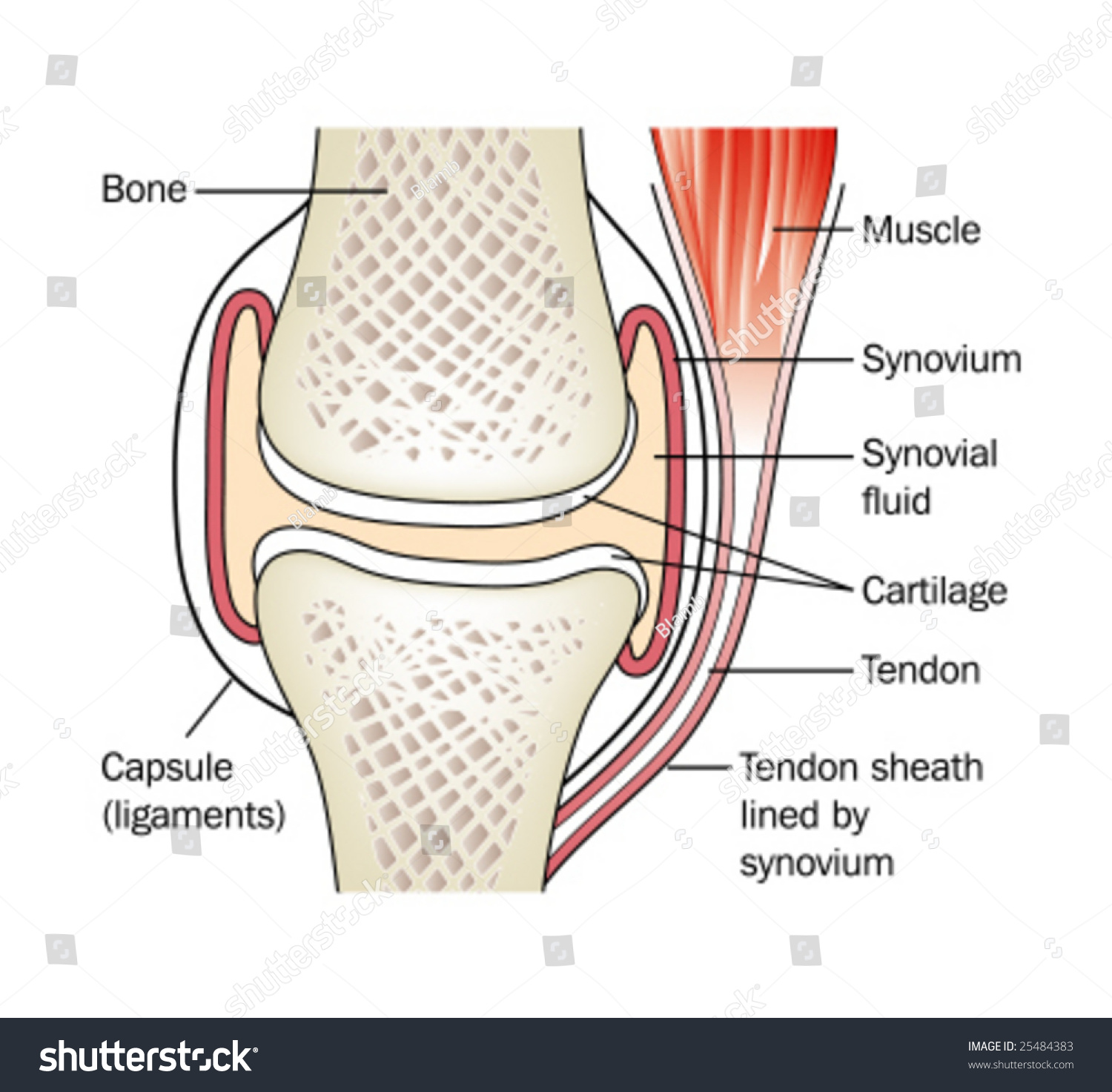 Synovial Joint Labeled Stock Vector (Royalty Free) 25484383 ...