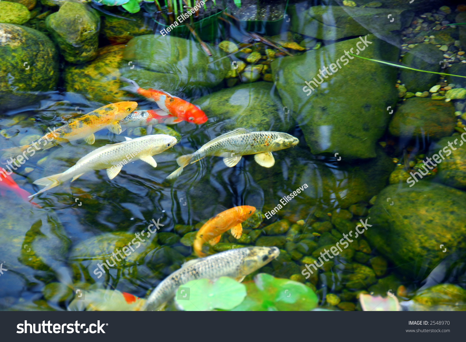 Koi Fish In A Natural Stone Pond Stock Photo 2548970 Shutterstock