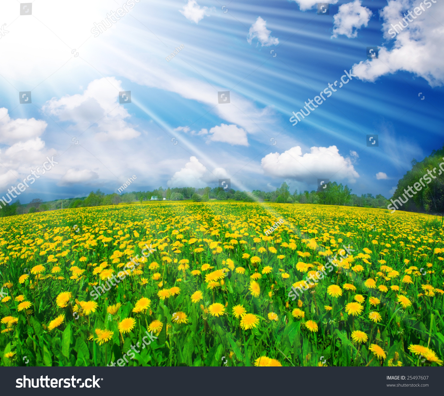 Field Of Dandelions On Background Of The Sky Stock Photo