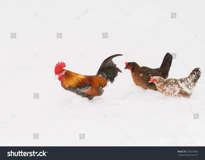 stock-photo-rooster-walking-through-deep