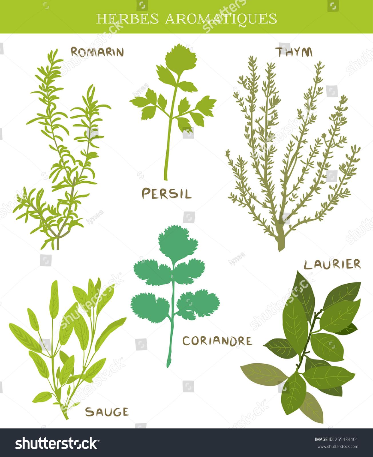 herbes aromatiques fresh herbs thym thyme laurier bay leaves sauge sage persil. Black Bedroom Furniture Sets. Home Design Ideas