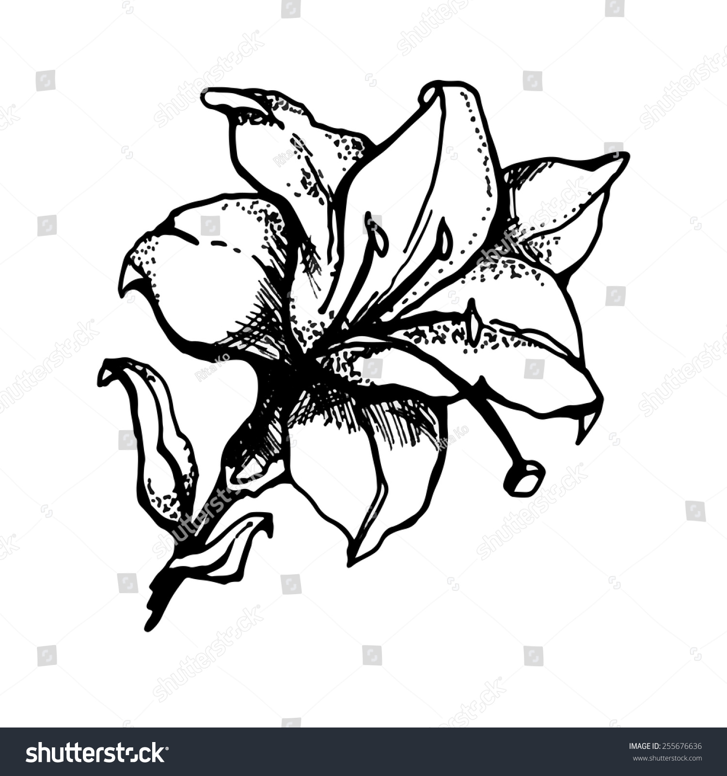 Lily Flower Drawing Graphics Ez Canvas