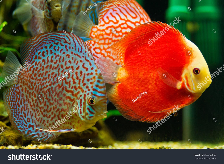 Discus Fish Symphysodon Aequifasciatus Red Melon Stock Photo ...