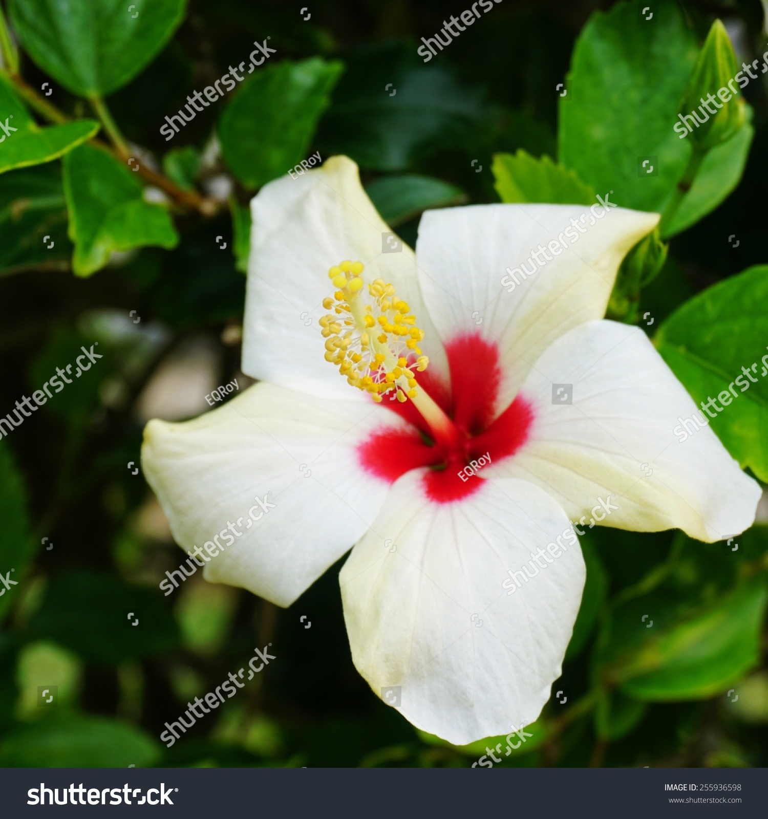 White Hibiscus Flower Red Center Yellow Stock Photo Edit Now