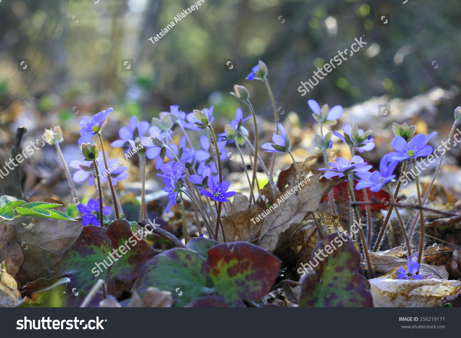 Group Early Spring Flowers Hepatica Nobilis Stock Photo Royalty
