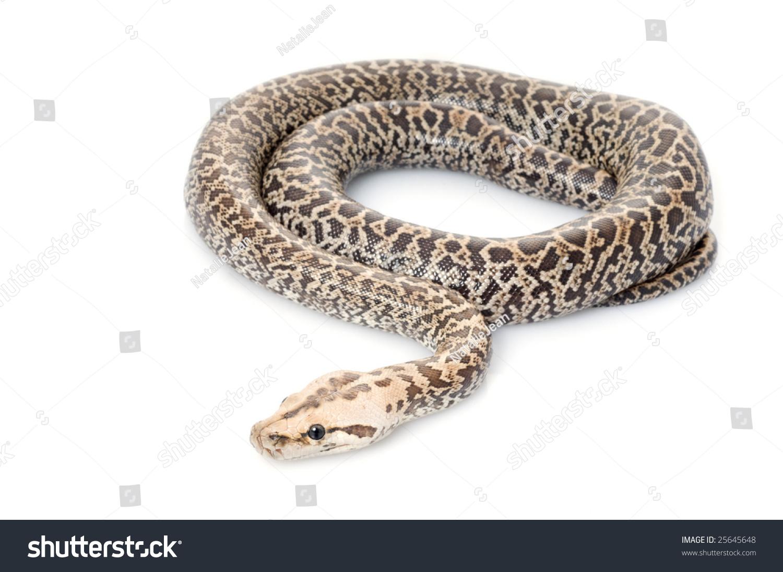 granite burmese python python molurus bivittatus stock