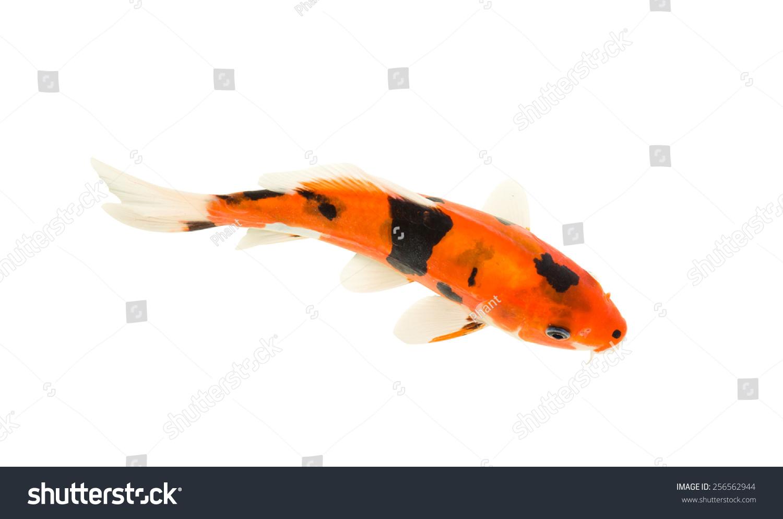 Koi fish isolated on white background stock photo for White koi carp