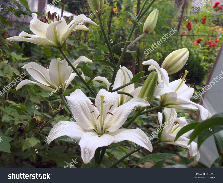 White madonna lily flowers on garden stock photo royalty free white madonna lily flowers on garden flower bed izmirmasajfo Gallery
