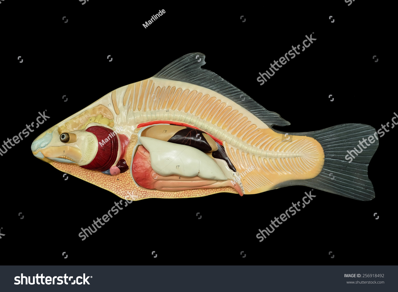 Anatomy Fish Model Stock Photo Edit Now 256918492 Shutterstock