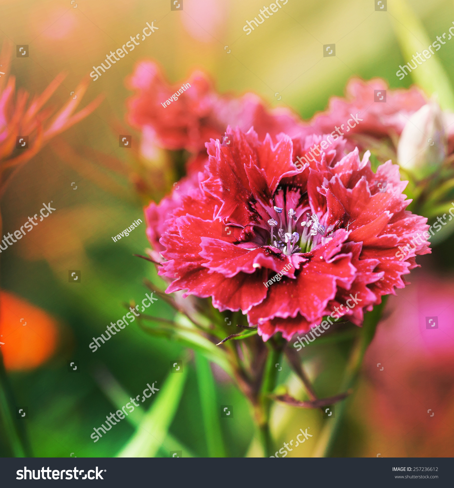 Colorful Chrysanthemum Flowers Beautiful Flowers On A Bokeh
