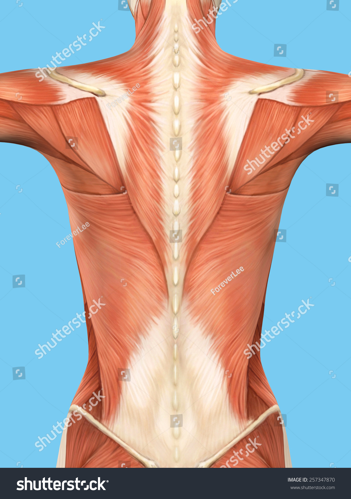 Anatomy Female Back Featuring Major Muscular Stockillustration