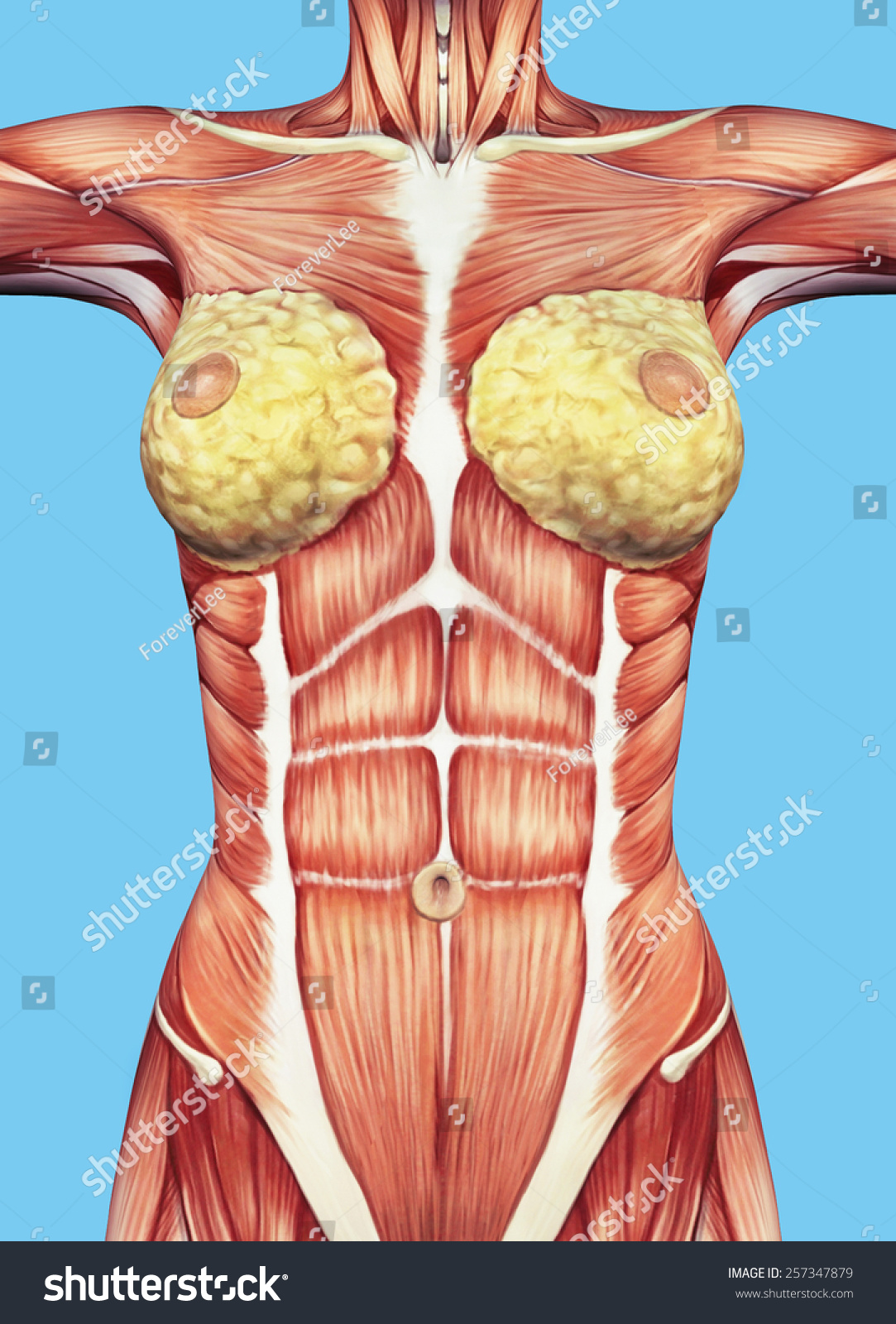 Anatomy Female Chest Torso Featuring Major Stock Illustration ...
