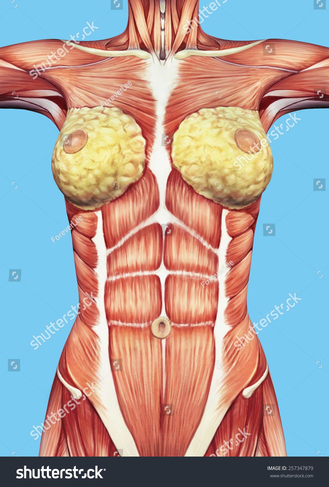 Royalty Free Stock Illustration of Anatomy Female Chest Torso ...