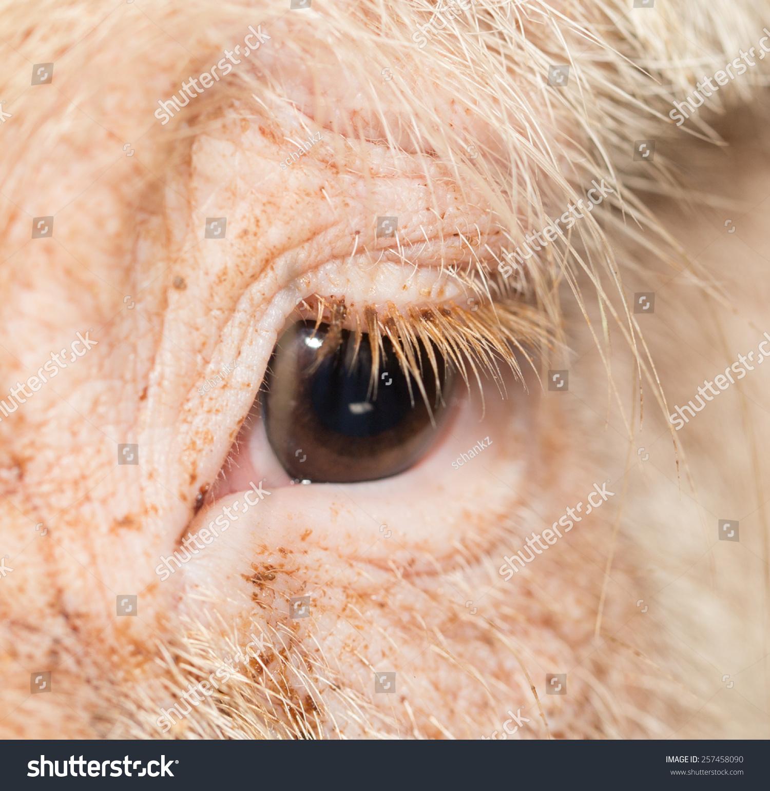 Pig Eyes Closeup Stock Photo Edit Now 257458090 Shutterstock