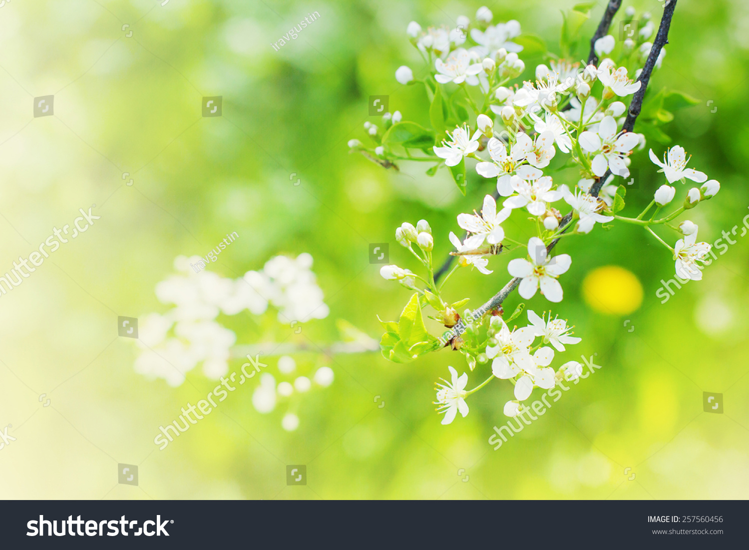 cherry blossoms over blurred nature background stock photo