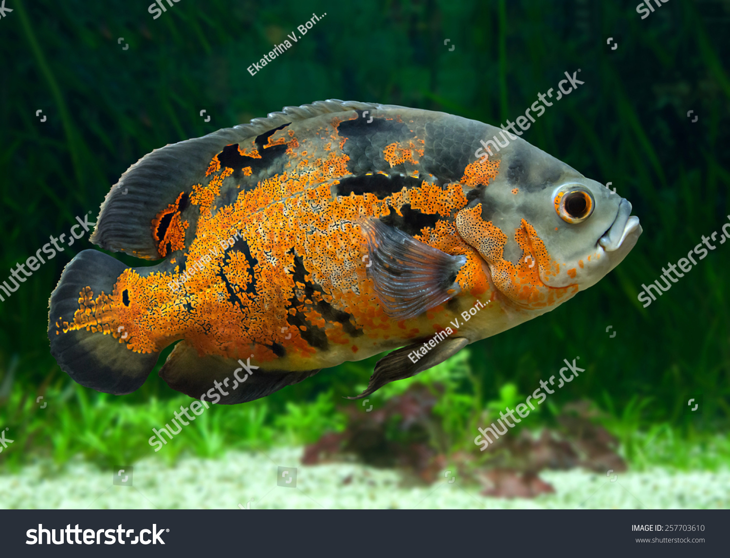 bright oscar fish south american freshwater stock photo 257703610, Reel Combo