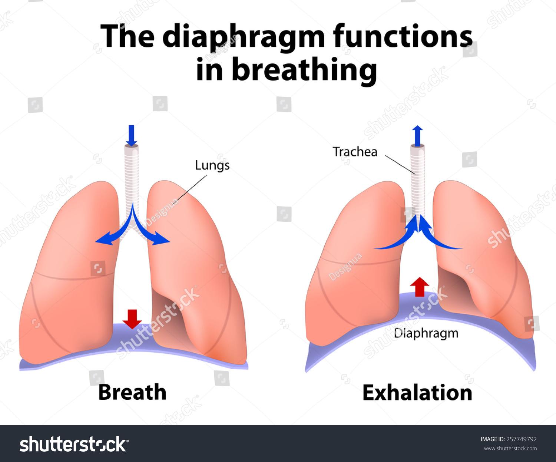 Diaphragm Functions Breathing Breath Exhalation Enlarging Stock