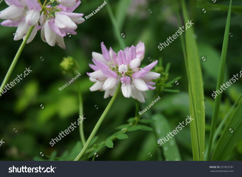 Crown vetch flower stock photo 257823181 shutterstock crown vetch flower izmirmasajfo