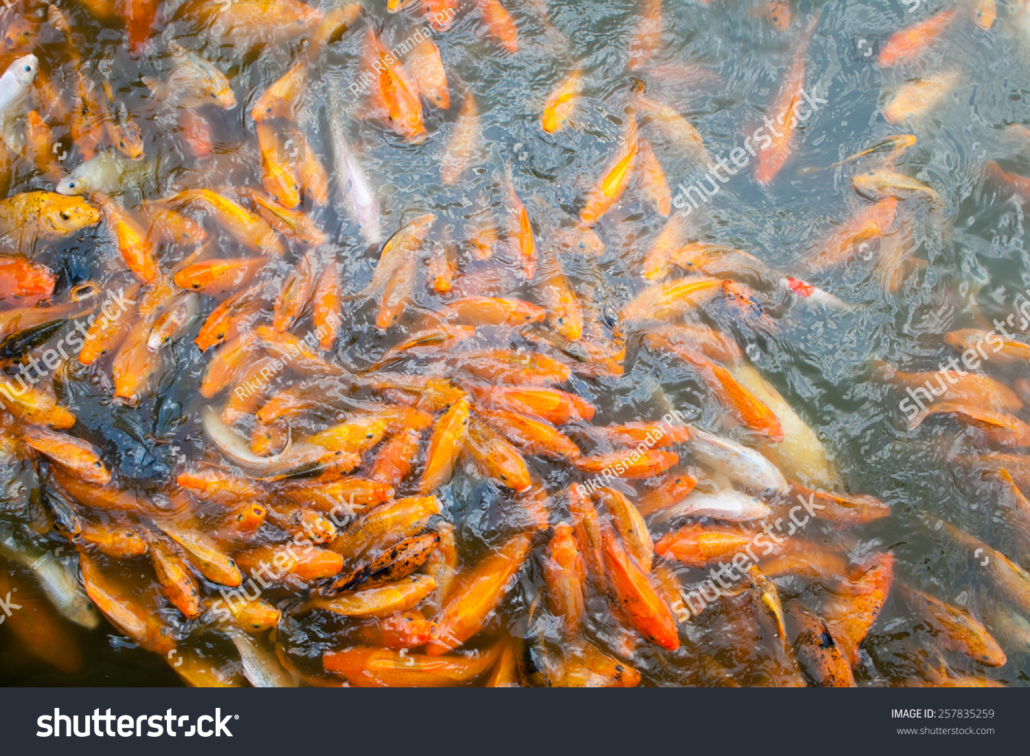 Lots Of Golden Fish On The Pond Stock Photo 257835259 Shutterstock