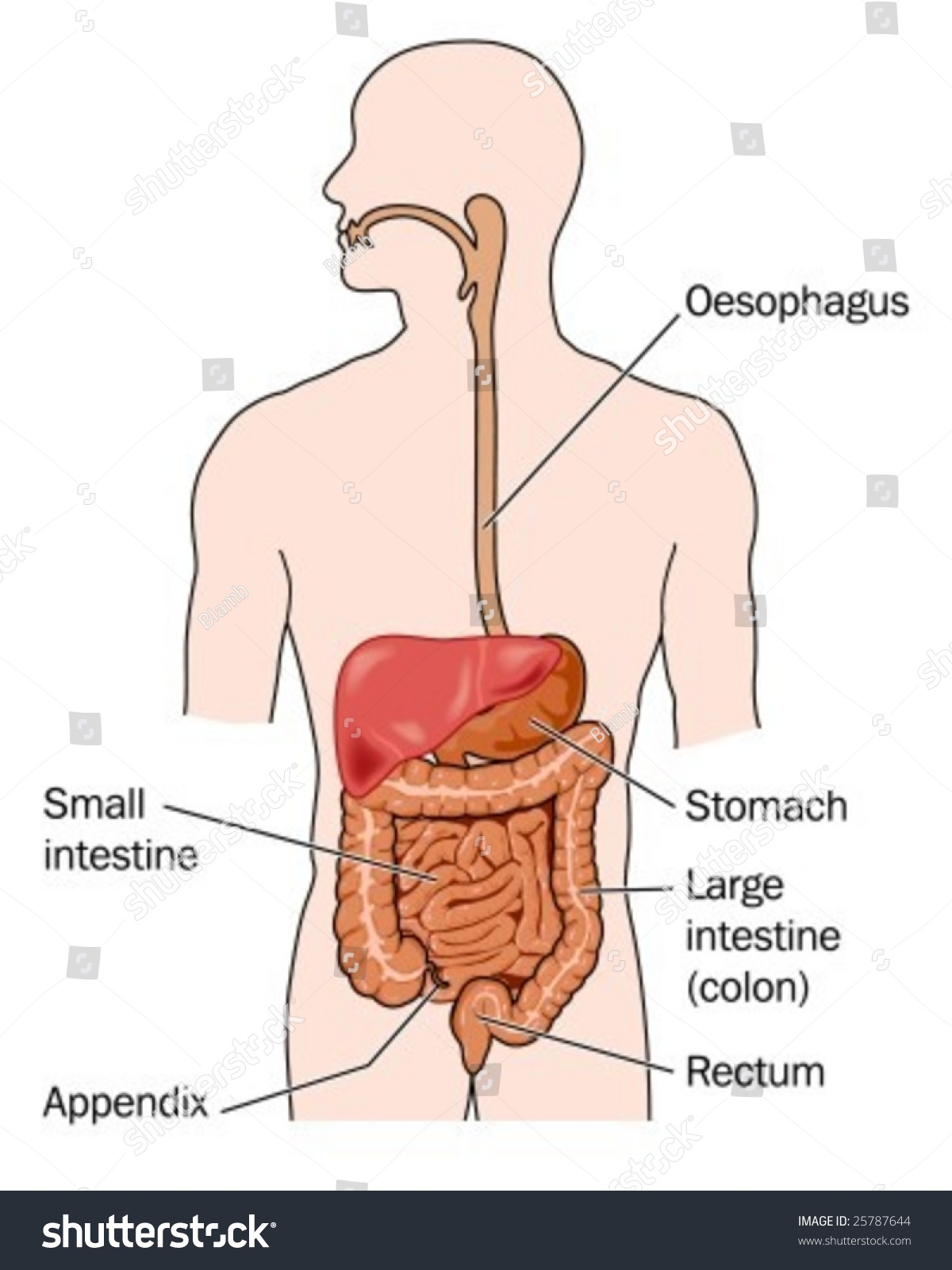Human Digestive System Labeled Stock Vector Royalty Free 25787644