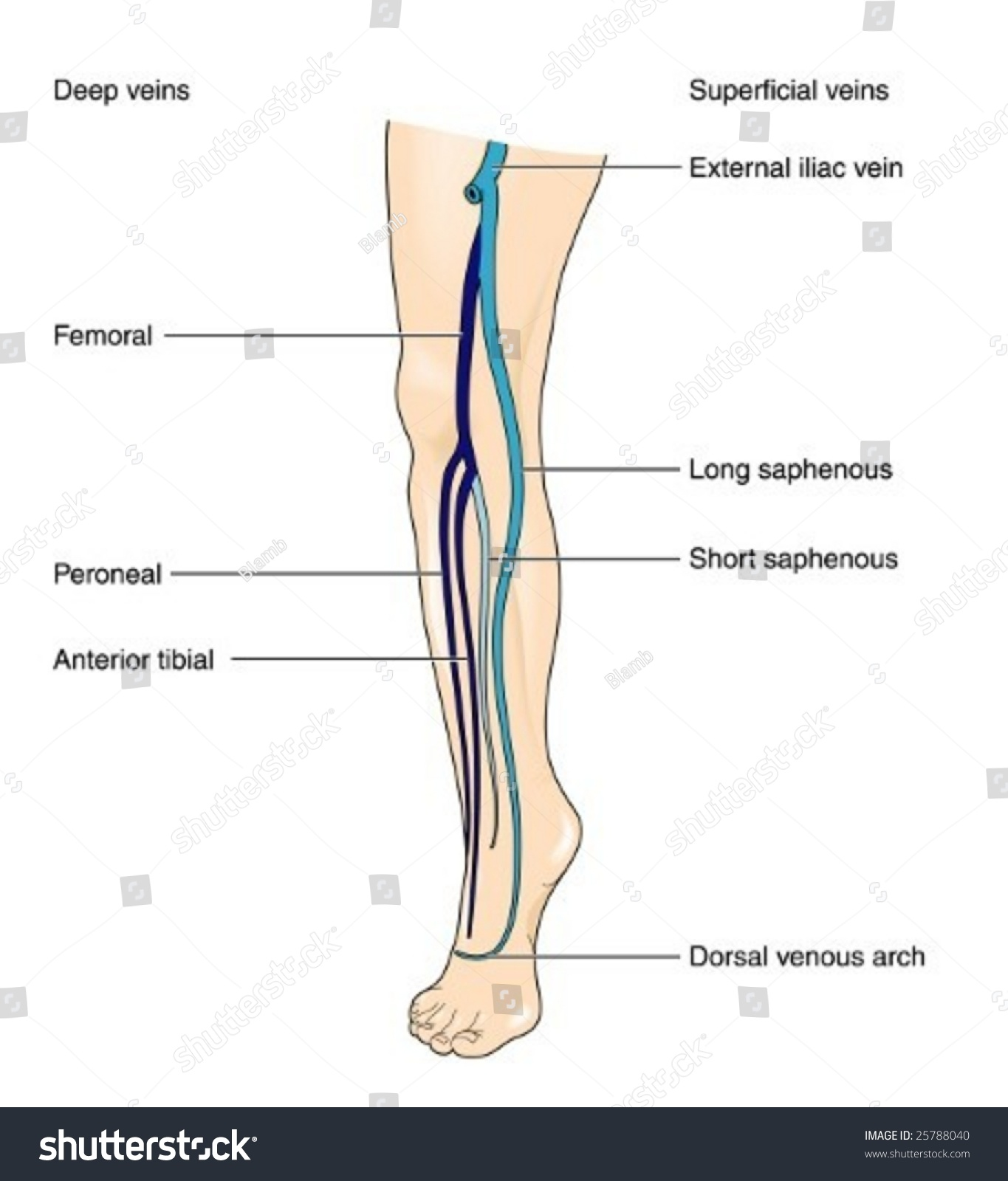 how to find veins in your leg