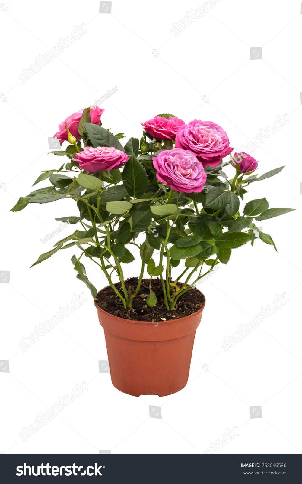 Houseplant Mini Rose Small Pink Flowers Stock Photo Edit Now
