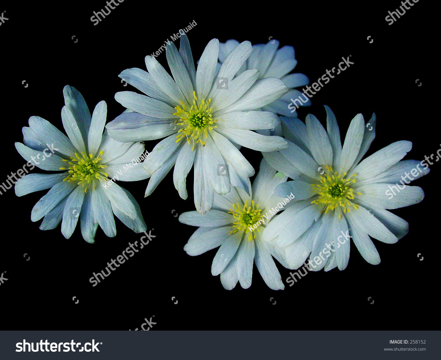 Closeup four white yellow daisy type stock photo royalty free close up of four white and yellow daisy type flowers on a black background izmirmasajfo