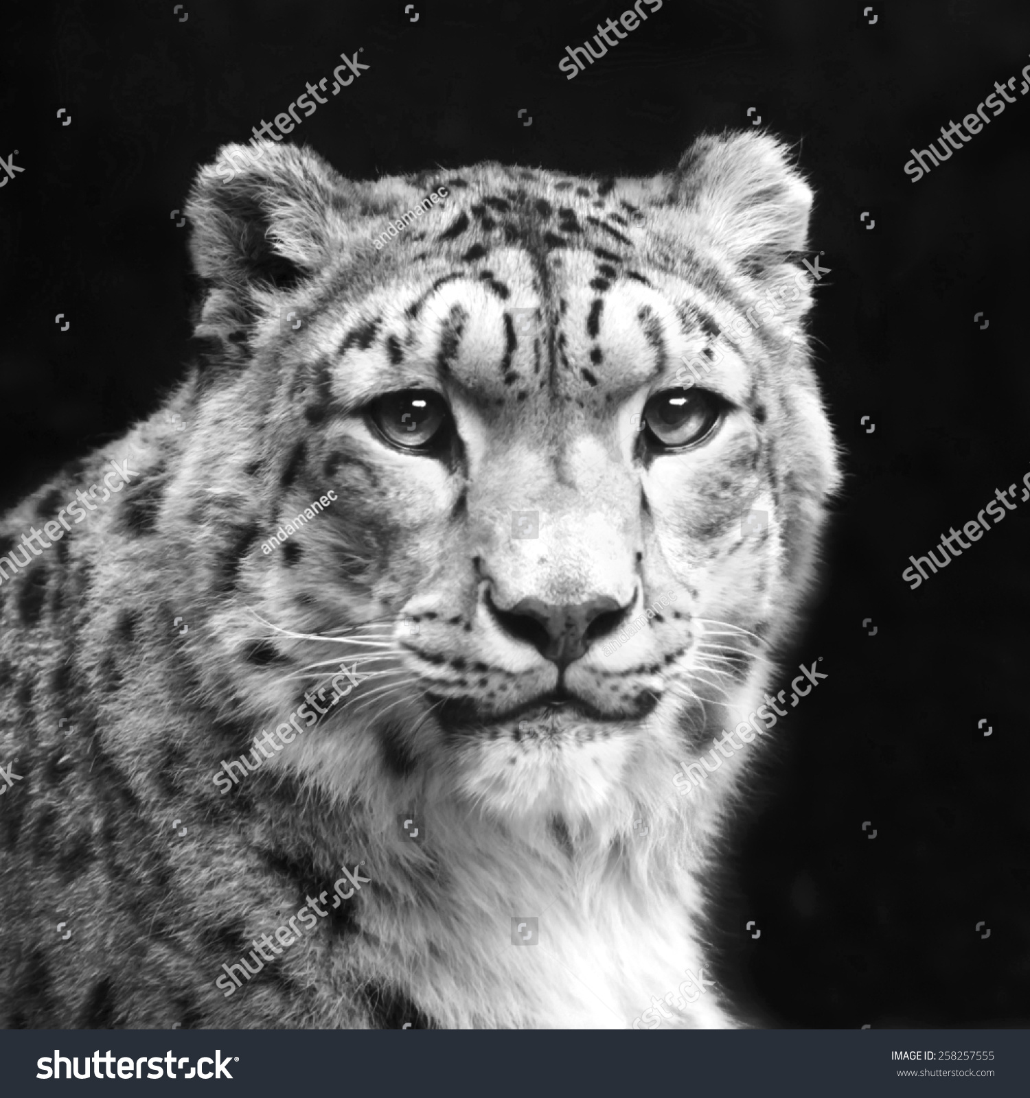 eye contact excellent snow leopard isolated stock photo (download