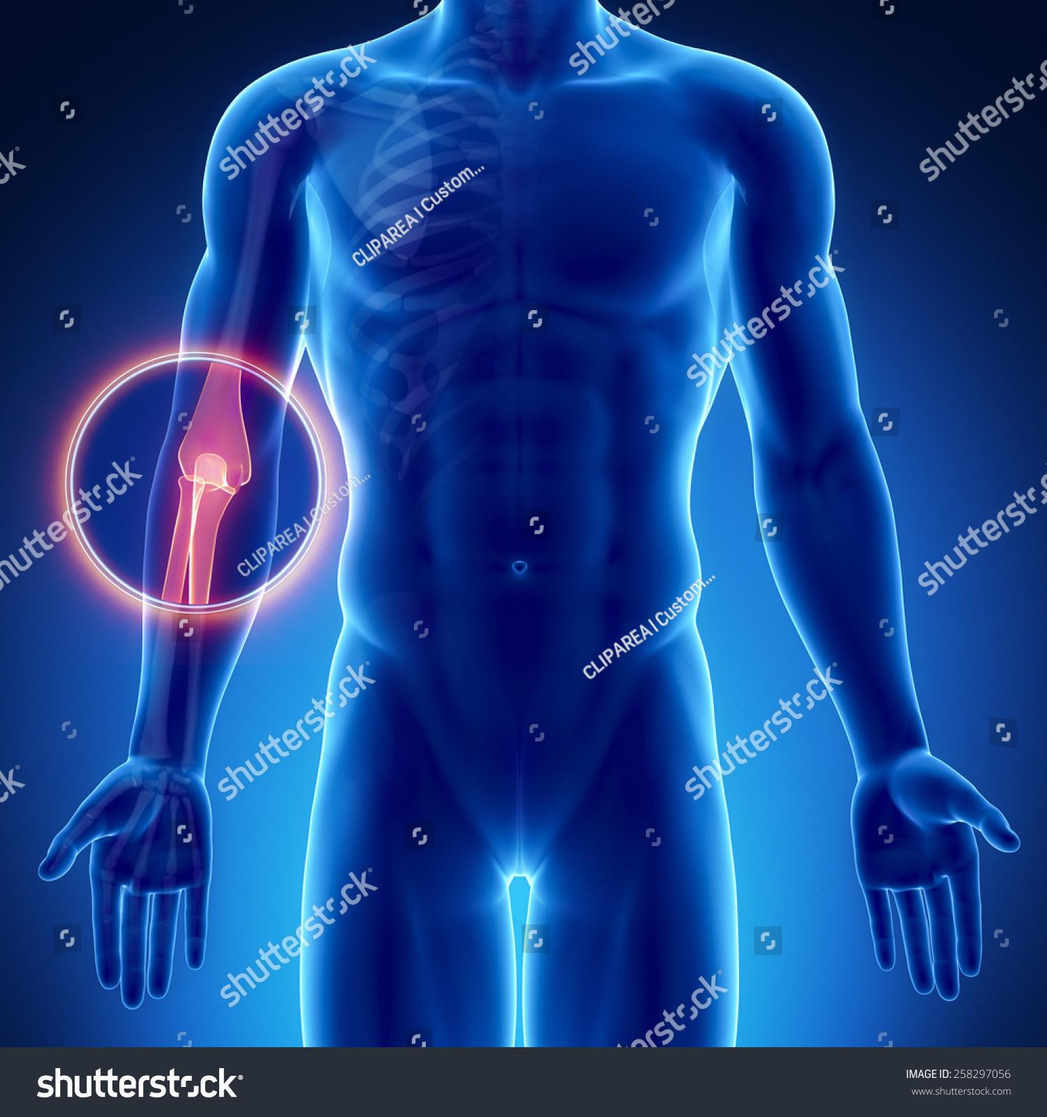 Male Bone Anatomy Elbow Stock Illustration 258297056 Shutterstock