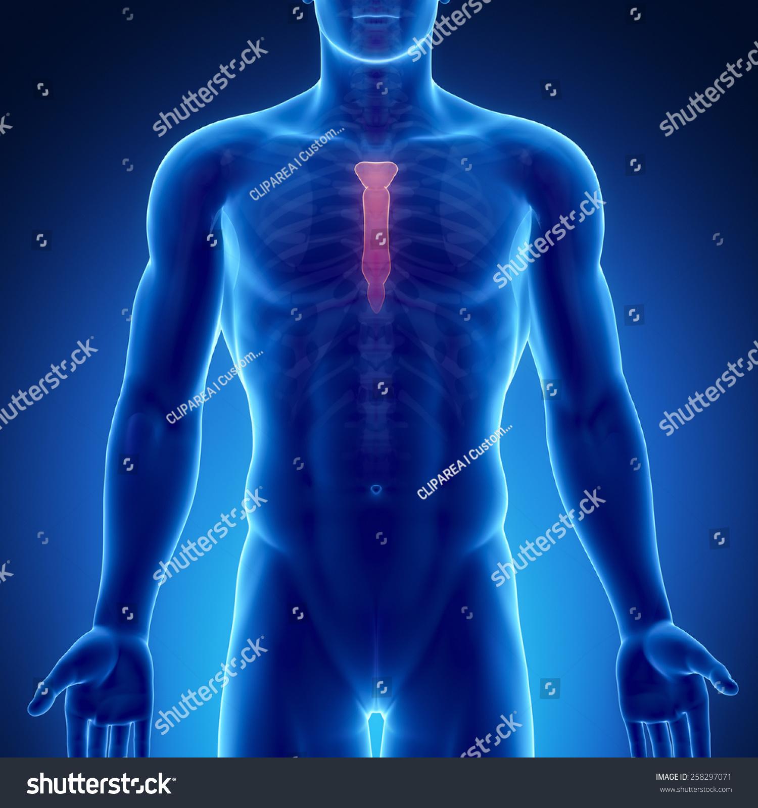 Male Bone Anatomy Sternum Stock Illustration 258297071 Shutterstock