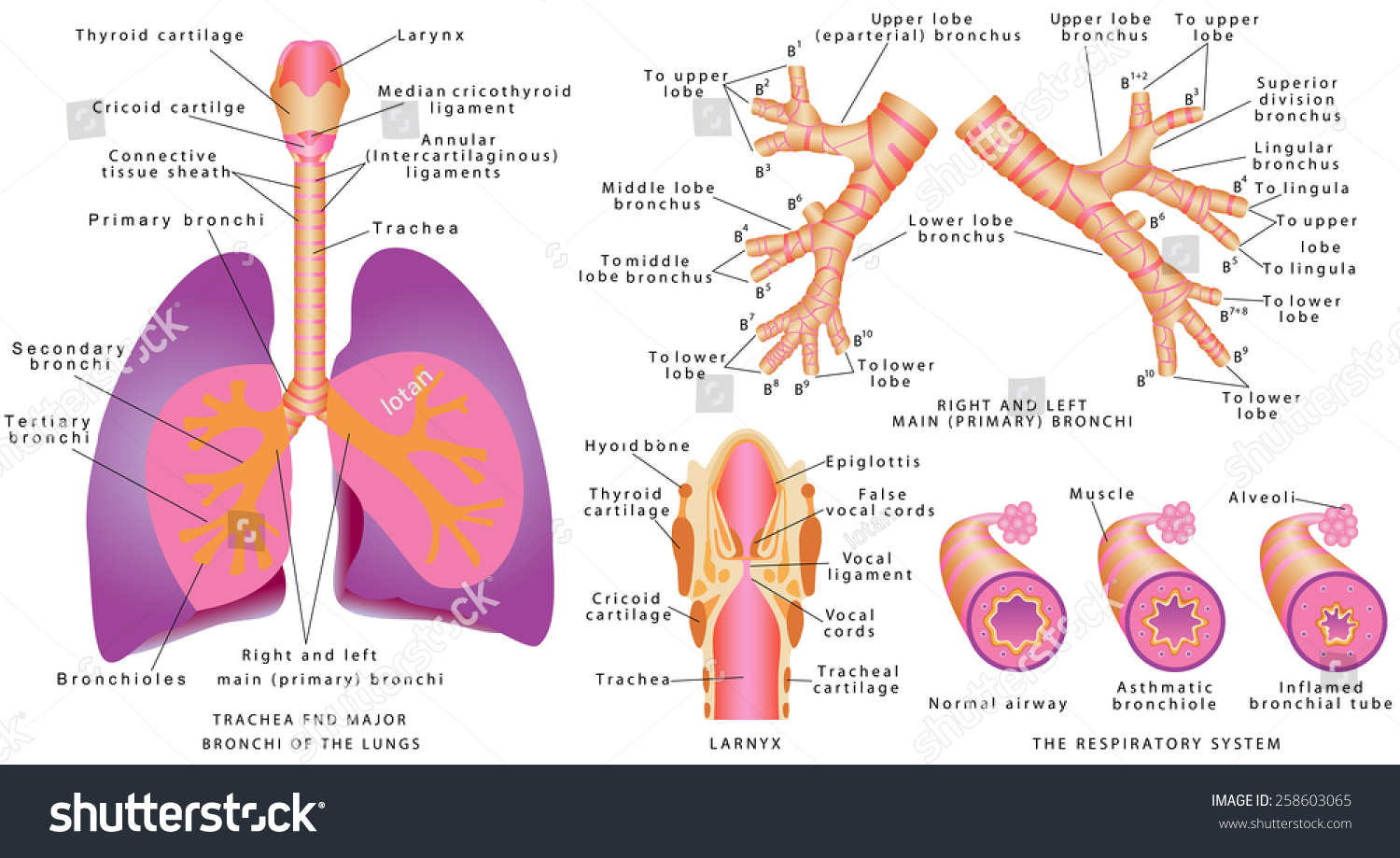Respiratory system human trachea bronchi larynx stock vector human trachea and bronchi larynx trachea and major bronchi of lungs pooptronica Images