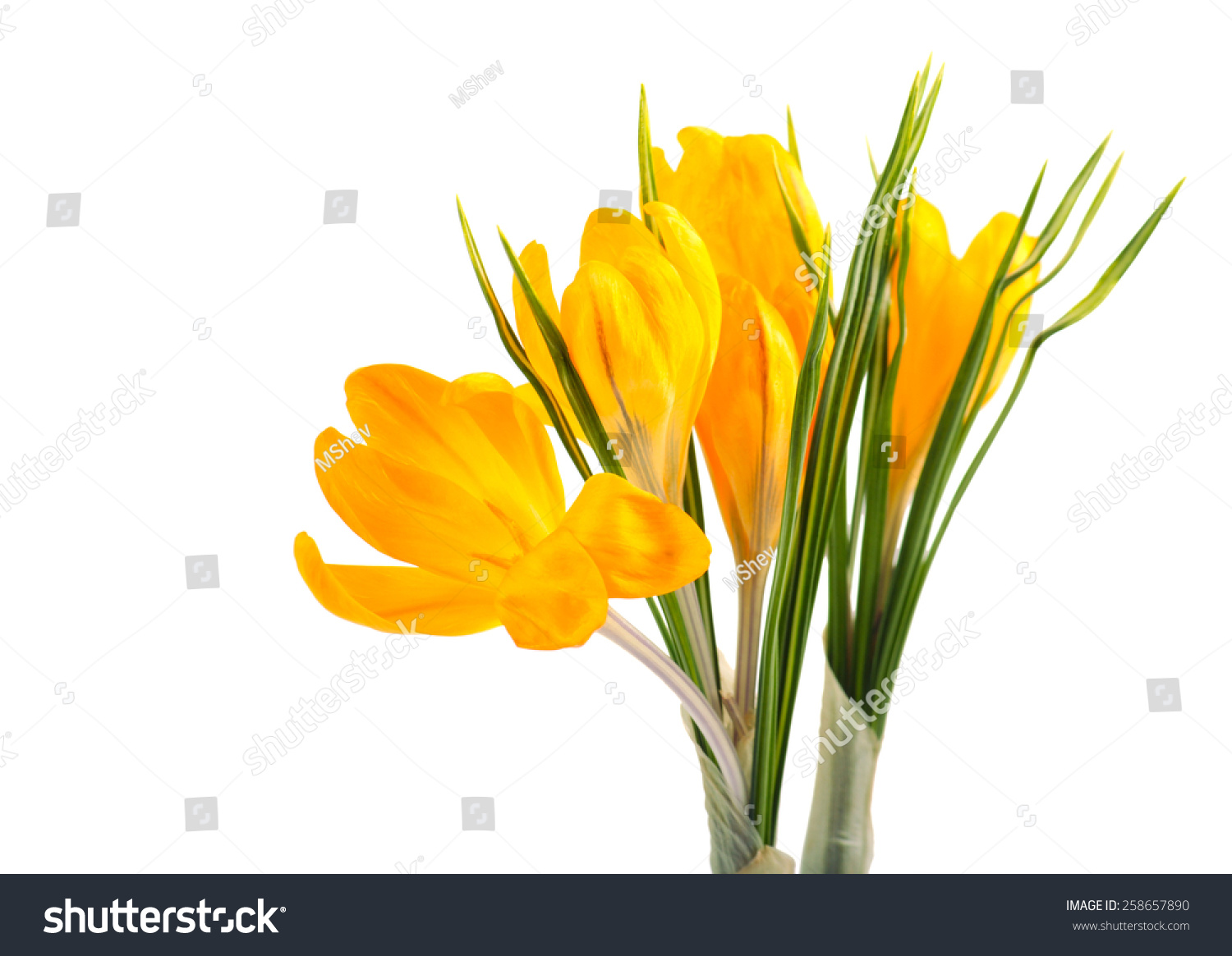 Yellow Crocus Flowers With Leaves Over White Background Ez Canvas