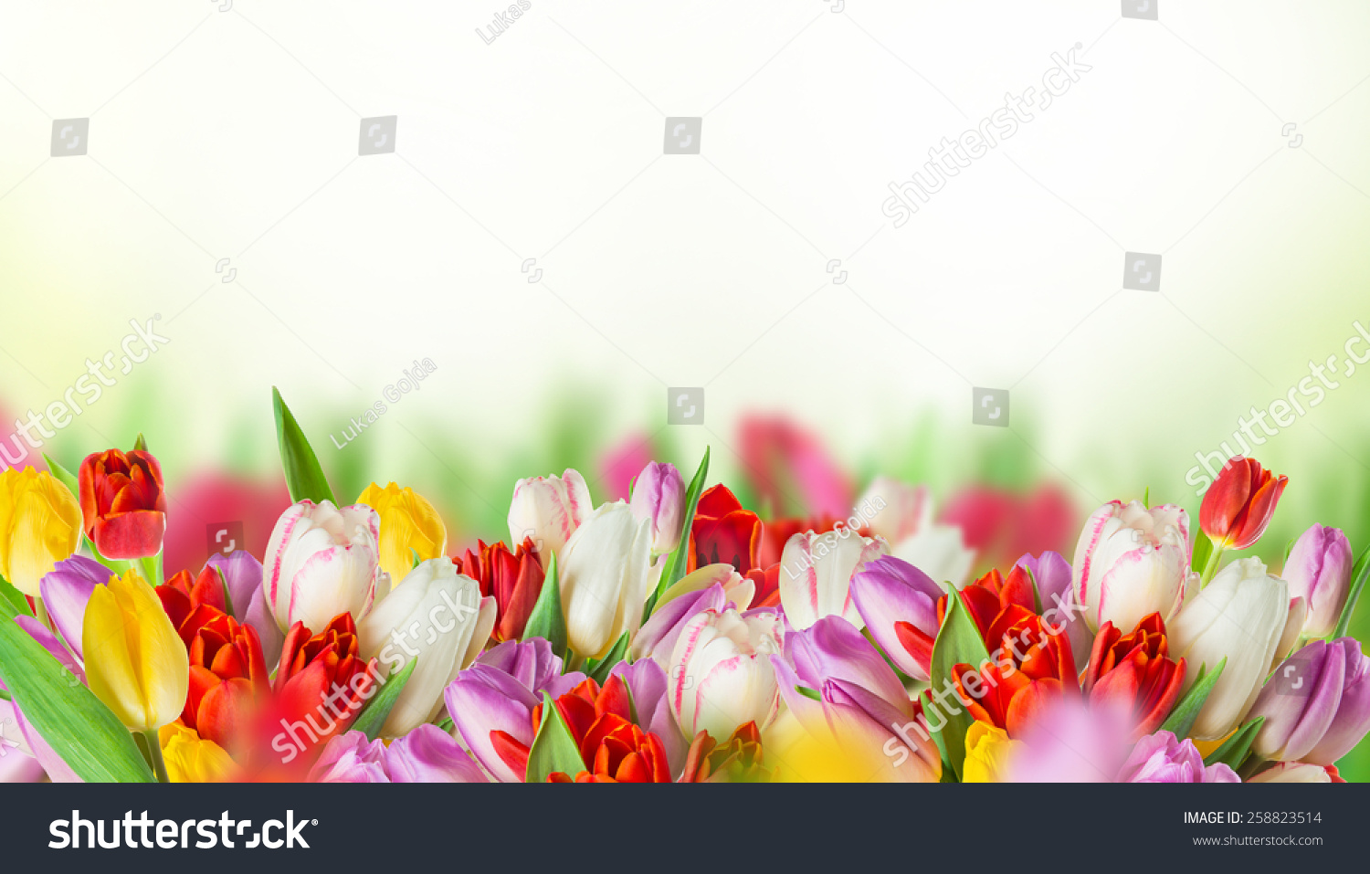 Tulips Over Blurred Green Background And Exotic Butterflies Bouquet