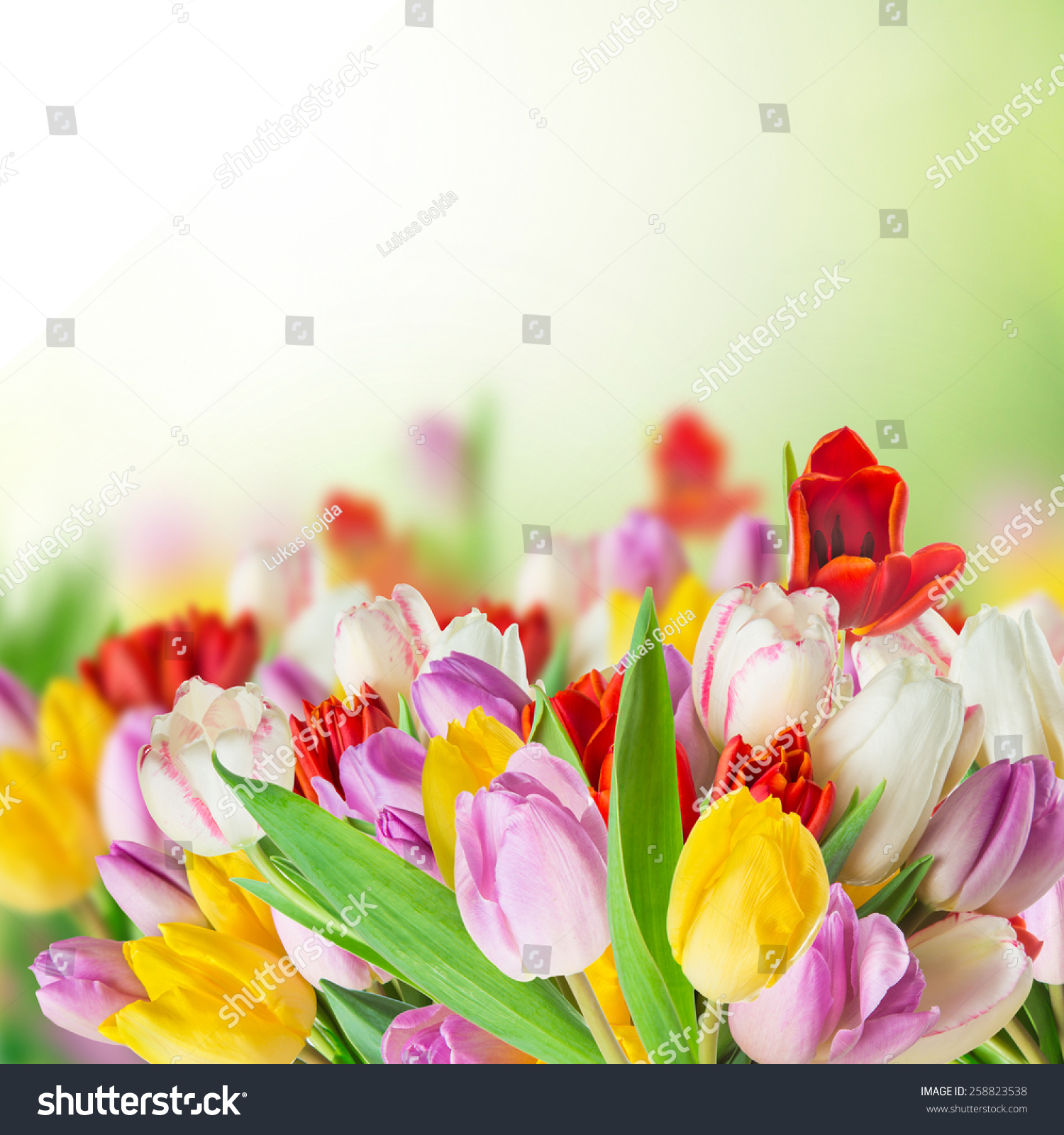 Tulips Over White Background Bouquet Spring Stock Photo Edit Now