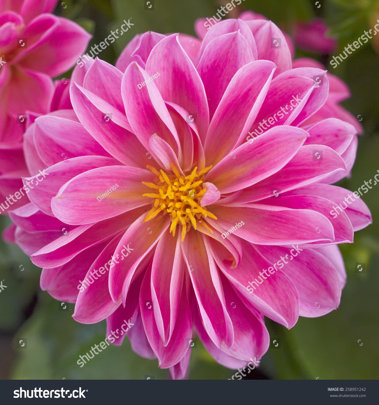 Pink dahlia flower closeup natural background ez canvas id 258951242 izmirmasajfo