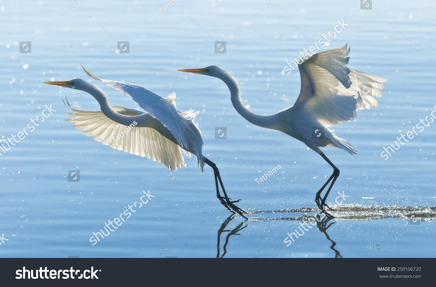 stock-photo-two-great-egrets-gracefully-