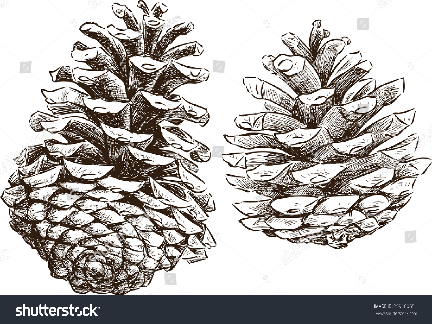 Pine Cone Illustration Pine Cones Stock Vecto...