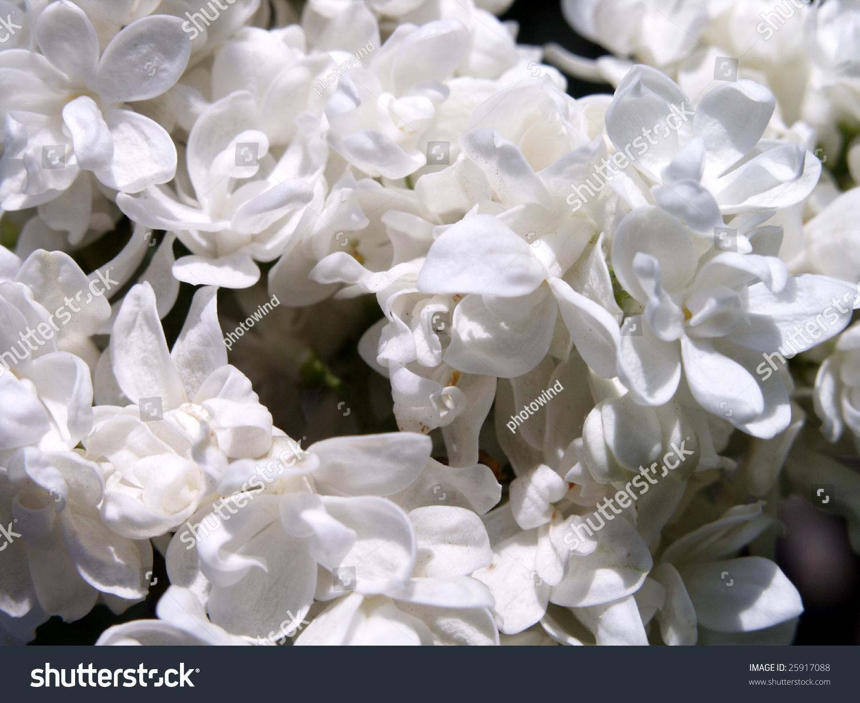 White Lilac Flowers Ez Canvas