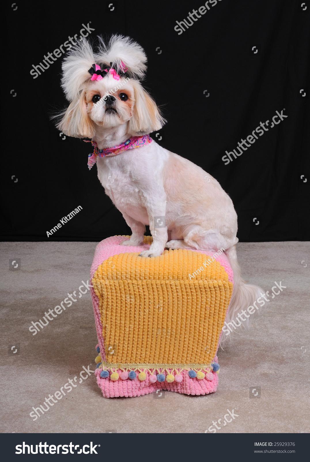 Shih Tzu Dog Short Summer Haircut Stock Photo Edit Now 25929376