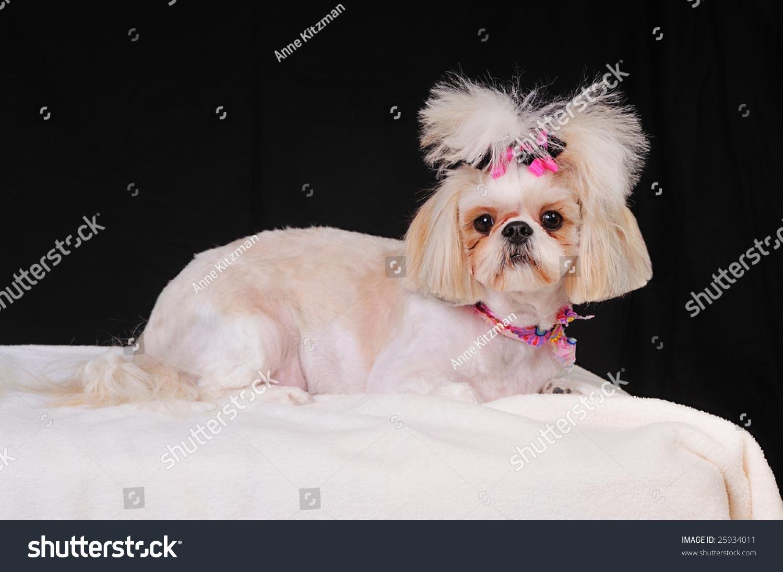 Shih Tzu Dog Short Summer Haircut Stock Photo Edit Now 25934011