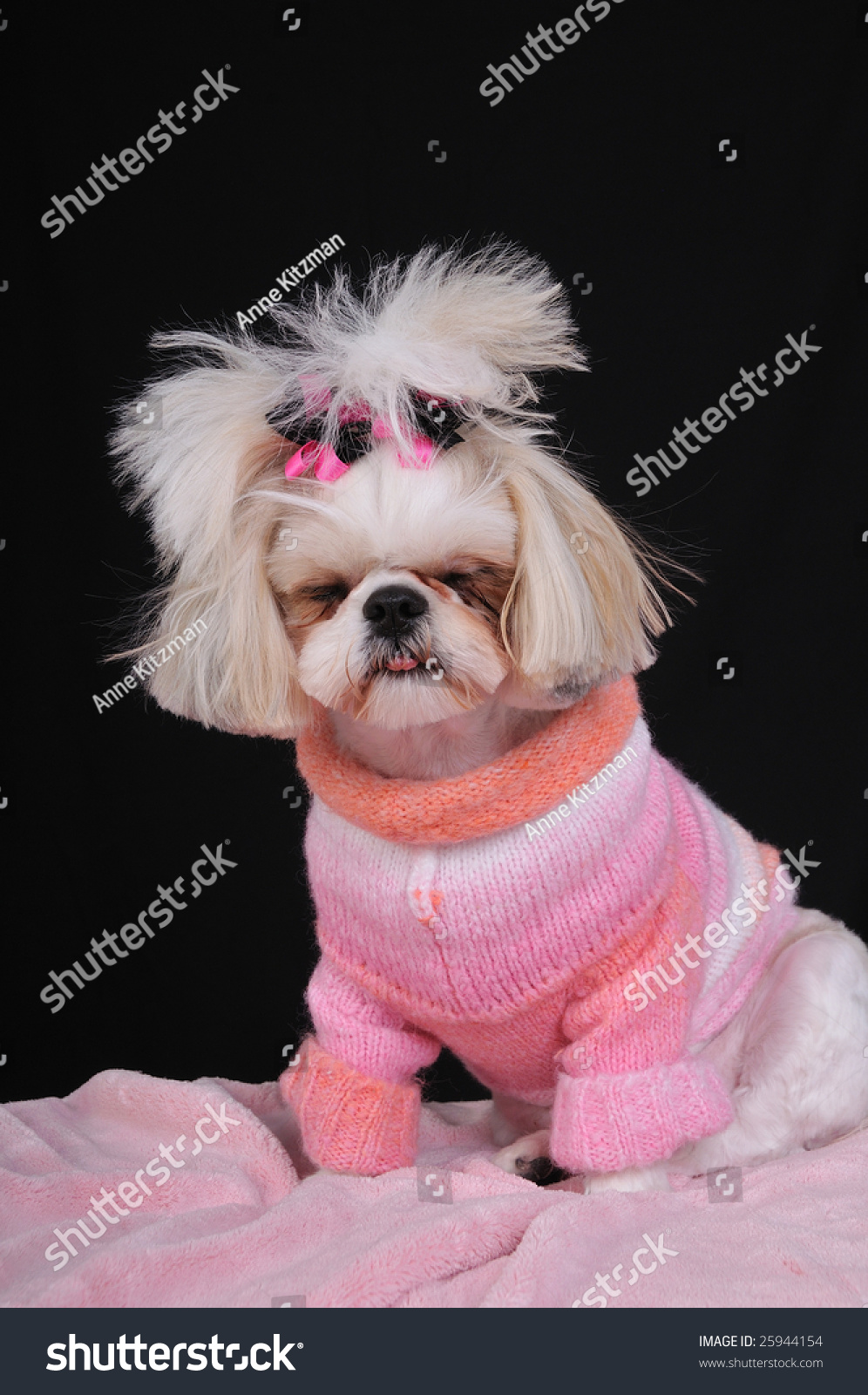 Shih Tzu Puppy Wearing Sweater Bows Stock Photo Edit Now 25944154